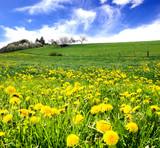 Gelb: Farbe des Frühlings / Löwenzahn über Löwenzahn :)
