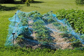 Erdbeeren mit Pflanzenschutznetz