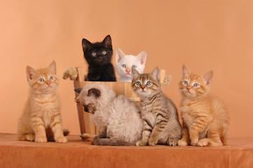 German Rex Mix Kätzchen Kitten Geschwister auf Braun