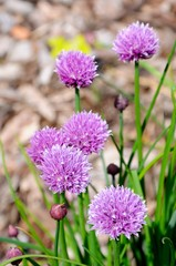 Chives in flower © Arena Photo UK