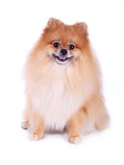 pomeranian grooming dog isolated