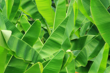 Green fresh banana leaf background