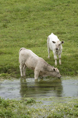 Cattle drinking River Swift in the Bourne Valley Hants England