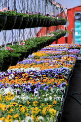 Flats of colorful pansies
