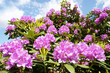 canvas print picture - Rhododendron