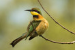 A Little-Bee Eater (Merops pusillus) looking up from preening