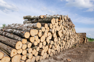 wood fuel stacks and birch logs near forest