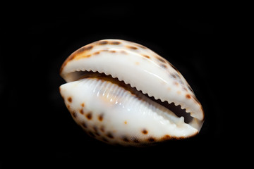 Marine shell. isolated on a black background