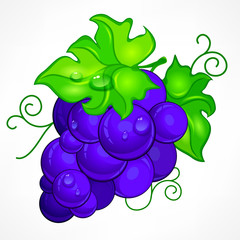 Cluster blue grapes with green leaf and drop water on white,