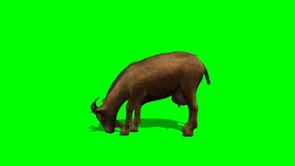 goat eat - green screen