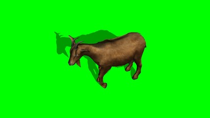 goat standing and looks around - green screen
