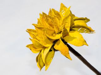Yellow wood flower