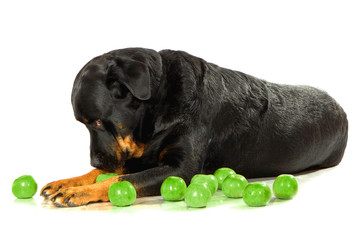 Rottweiler on white isolated background
