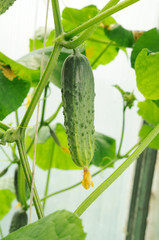 young cucumbers growing  in greenhouse