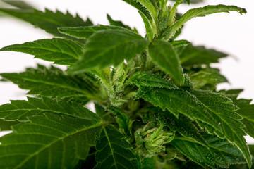 big cannabis marijuana plant detail