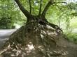Wurzelwerk eines Baumes im Teutoburger Wald in Oerlinghausen