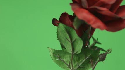 red roses isolated on chroma green screen background