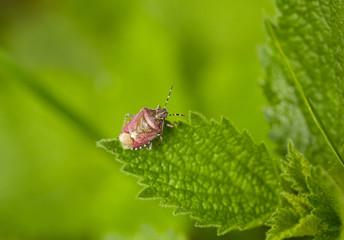 pest shield bug