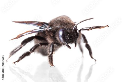 Foto op Canvas Bee Carpenter bee portrait