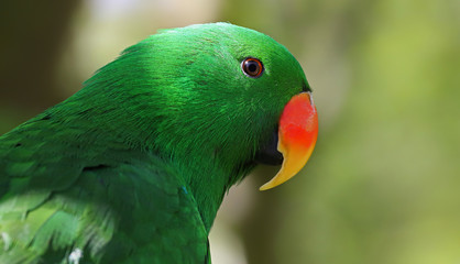 Adult male Eclectus Parrot (Eclectus roratus)