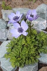 Flowers Anemone