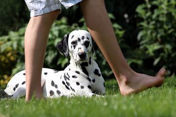 Dalmatiner schaut zwischen Beinen von Herrchen