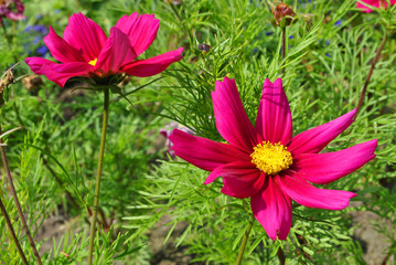Mexican aster flower Latin name Cosmos bipinnatus