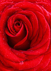 Red rose macro shot.