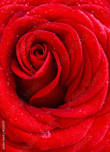 canvas print picture Red rose macro shot.
