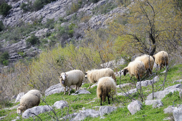 Sheep in the hill