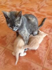 Mama gata amamantando
