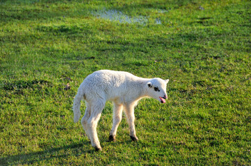 Bleating lamb on the meadow