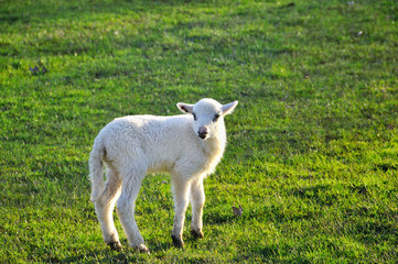 Single lamb on the meadow
