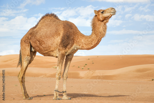 Foto op Aluminium Kameel Camel in Wahiba Oman