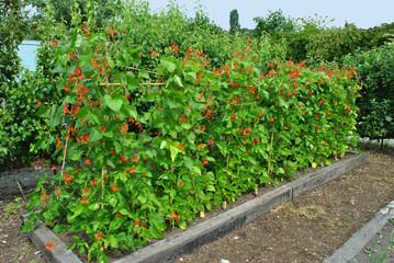 Runner beans Latin name Phaseolus coccineus 'Enorma'
