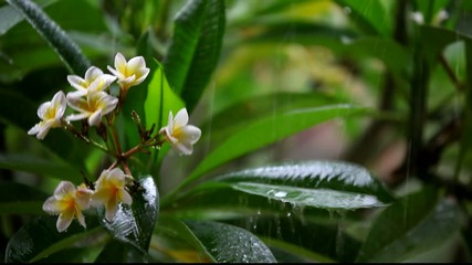 frangipani flowers in the rain with sound