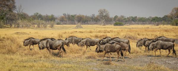 Wildebeest herd, Botswana, Africa