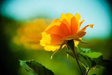 Nature. Orange rose flower for background
