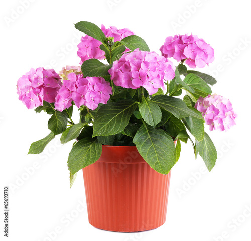 Keuken foto achterwand Hydrangea Hydrangea in flowerpot isolated on white