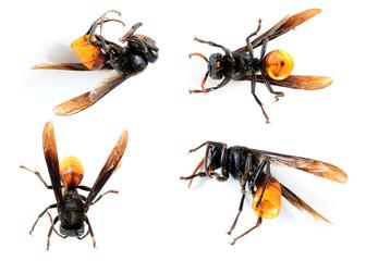 Hymenoptera Dead