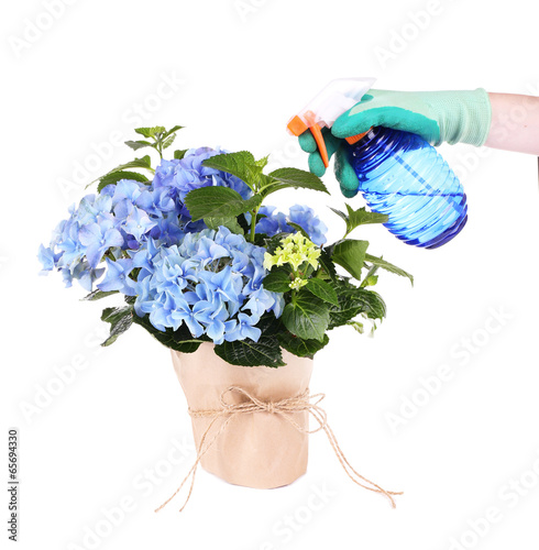 Process of caring for hydrangea flower isolated on white