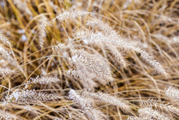 frozen pampa grass in wintertime