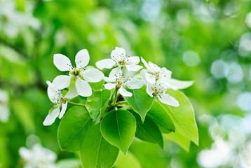 closeup of the white pear blossom in spring