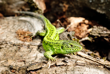 green lizard macro on a background of tree bark