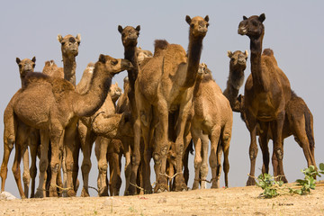 Camel at the Pushkar Fair.  Rajasthan, India