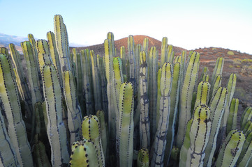 Succulent Plant Cactus on the Dry Desert