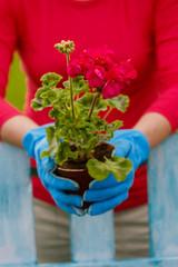 Garden, planting - woman with geranium flowers