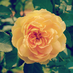 rose in garden with retro filter effect