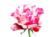 Close up pink rose flower isolated on white background.