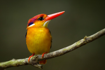 Very close up of Oriental Dwarf Kingfisher (Ceyx erithaca)